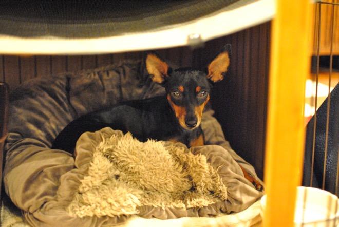 Resultado de imagen para 犬 Mini Pinscher ベッド